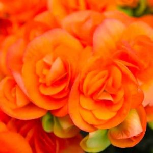 Orange Begonias