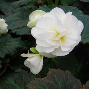 White Nonstop Begonias