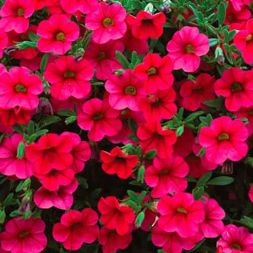 Calibrachoa red