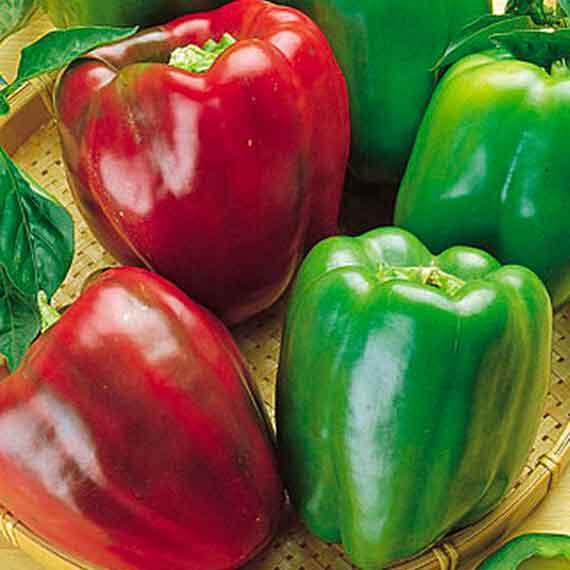 California Wonder Bell Pepper