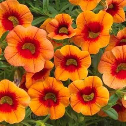 Calibrachoa Orange