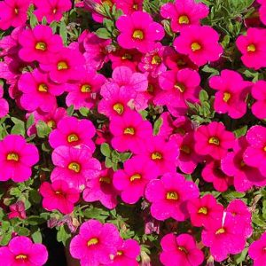 Calibrachoa Pink