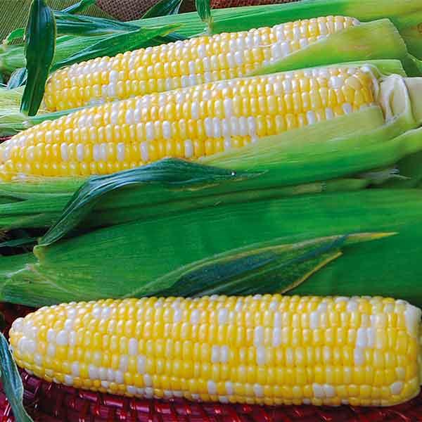 Corn double sweet bi color