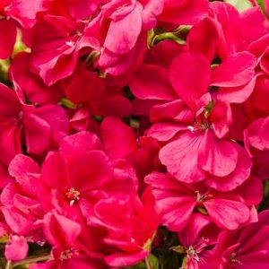 Hot Pink Geranium