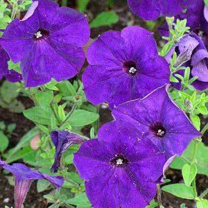Madness Petunia blue