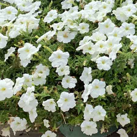 Madness Petunia white