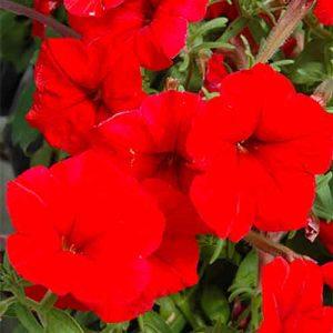 Madness Petunia red
