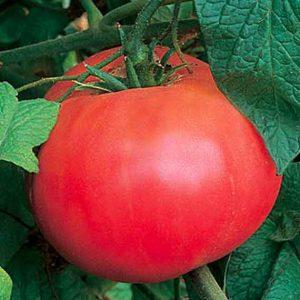Red Brandywine Tomato