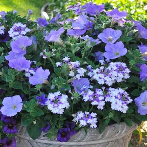 Shocking Blue hanging basket