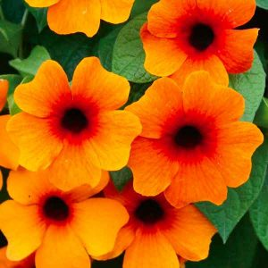 Thunbergia black-eyed susan vine orange