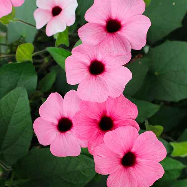Thunbergia pink Black-Eyed Susan Vine