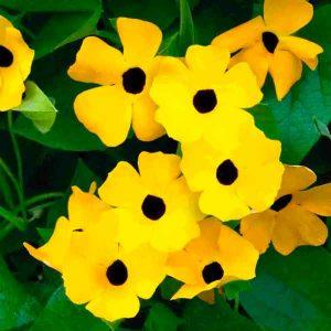 Thunbergia black-eyed susan vine yellow